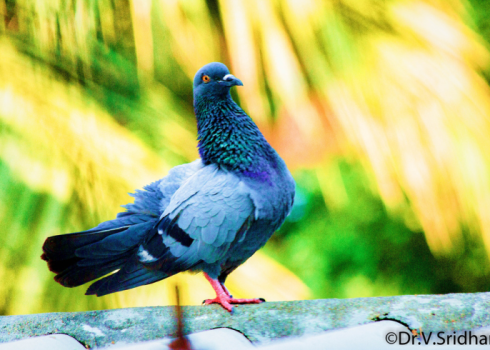 soul mate,pigeon,waiting time