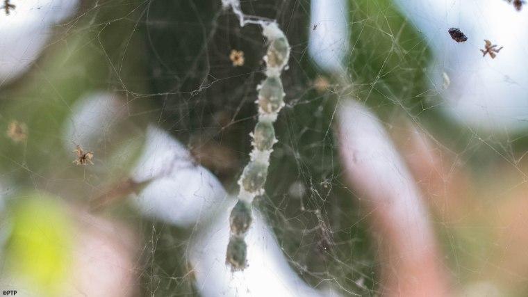 Tent spider eggs
