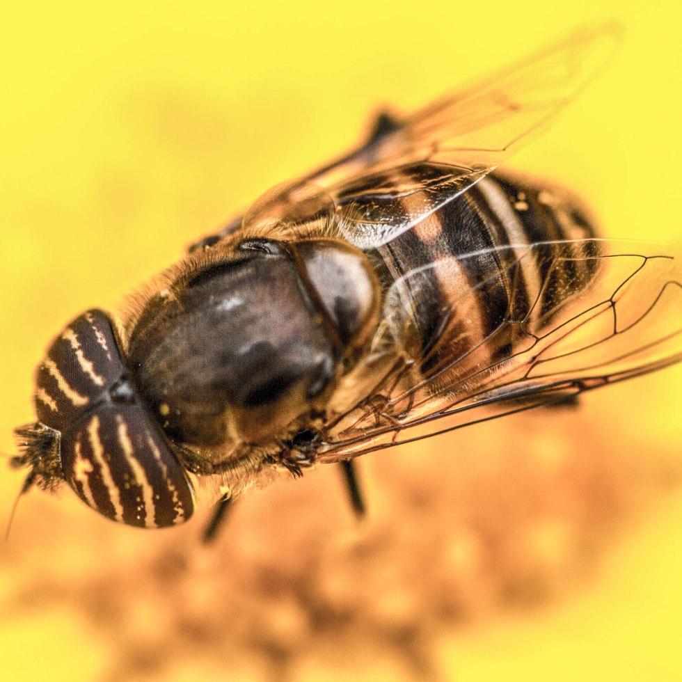 Bee,Macro Monday