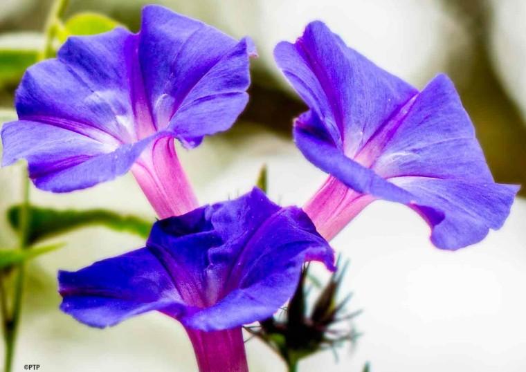 Ipomoea Flower