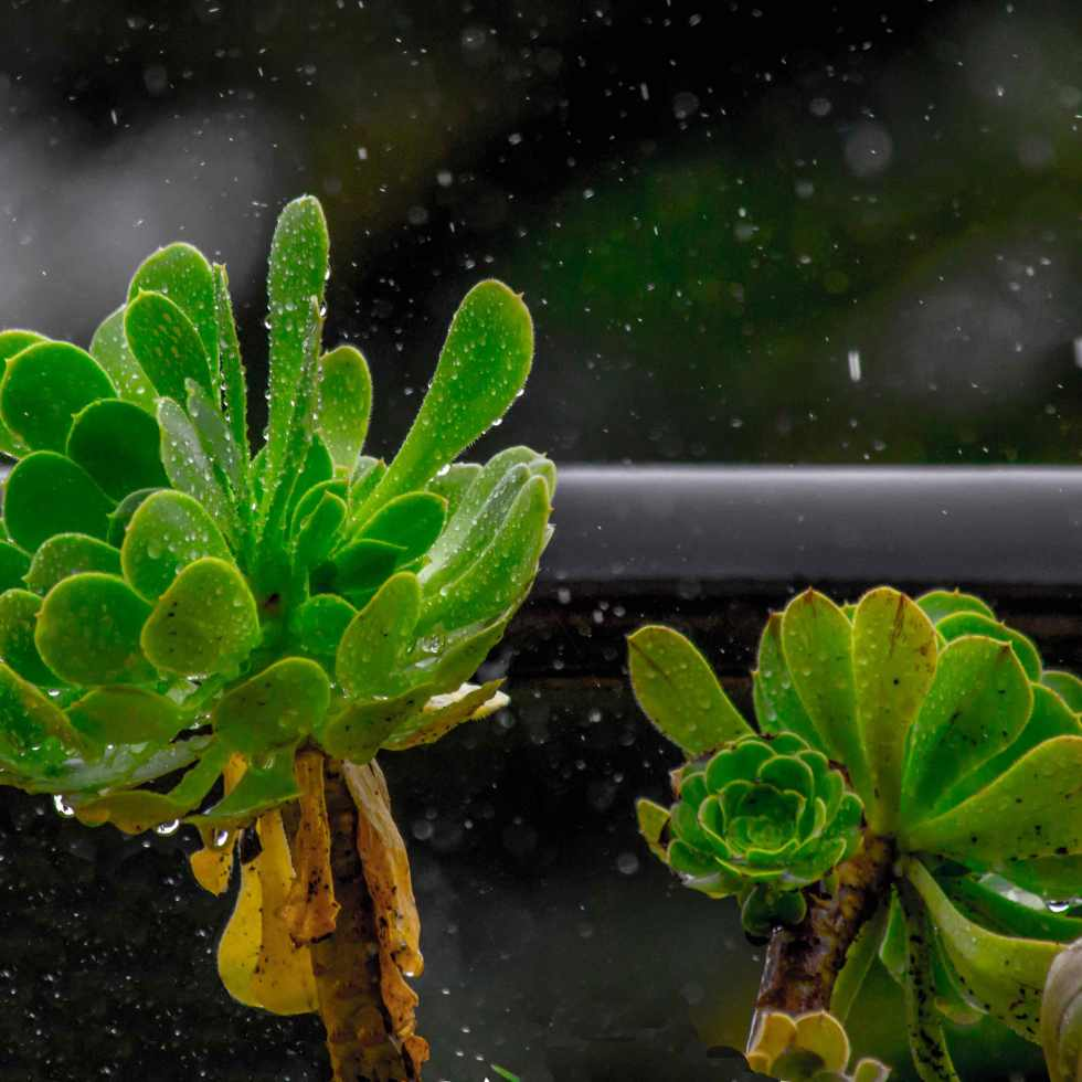 rain drops on the leaves