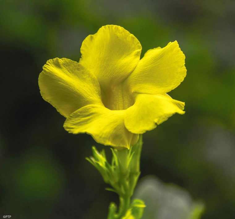 Wild Alamanda flower