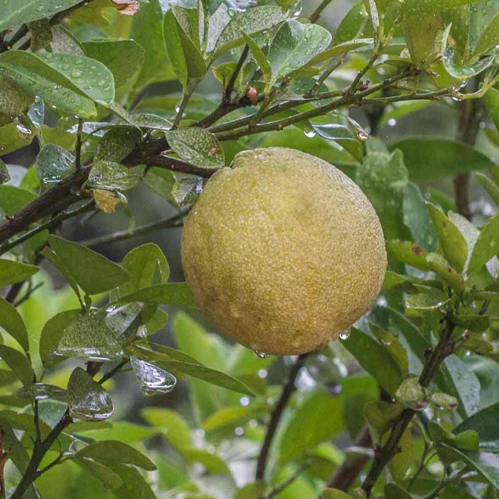 Yellow Pear Fruit